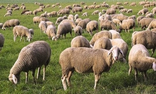 500 bin koyun dağıtacağız sözünü verdiler, 87 bin koyun dağıtabildiler