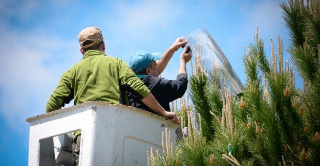 Çam fıstığındaki verim düşüklüğüne 10 proje ile çözüm aranıyor