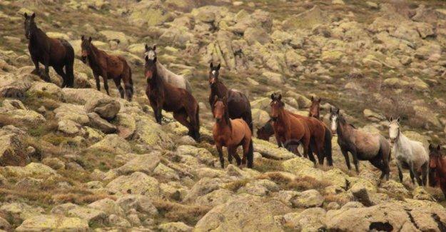 Kumalar Dağı'nda ortaya çıkan yılkı atları görüntülendi