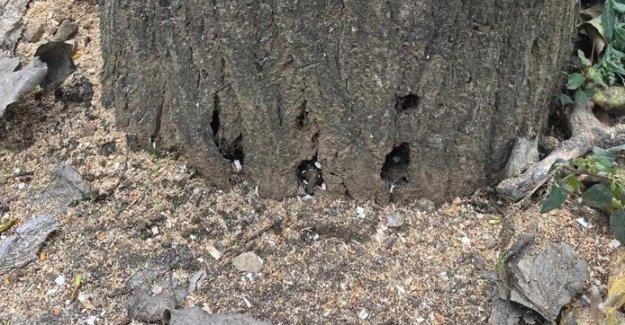 Ömrünü dolduran kavak ağaçları kesildi