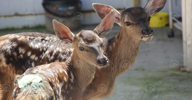 Tedavileri tamamlanan geyikler üretme istasyonuna gönderildi