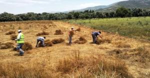 Tire'de kadınların başlattığı keten projesinde ilk hasat heyecanı