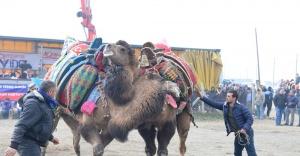 Bergama Deve Güreşi festivali büyük ilgi gördü