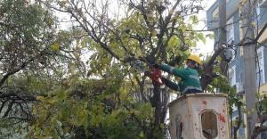 Buca'nın ağaçlarına kışlık önlem