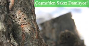 Çeşme Belediyesi Sakız Ağaçlarına Sahip Çıkıyor!
