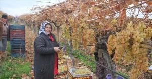 """Manisa'da yılın son üzümleri """"kanaviçe""""nin altından çıkarıldı"""
