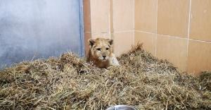 Yavru aslan kafesten Doğal Yaşam Parkı'na