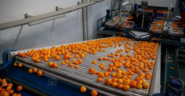 Verimi düşen mandalina, kalitesiyle ihracatı dengeleyecek