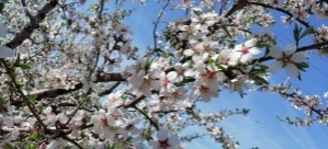Çeşme'de badem ağaçlarının çiçeği soldu