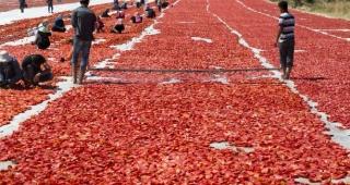 Türkiye'nin kuru domates ihracatının yüzde 97'si Ege Bölgesi'nden yapıldı